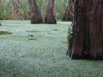 swamp15
