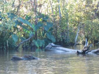 An alligator just chillin on a log